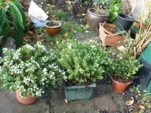 3 Hebes READY TO GO!