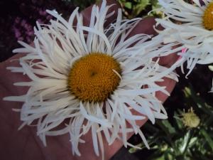 Leucanthemum 'Shaggy'
