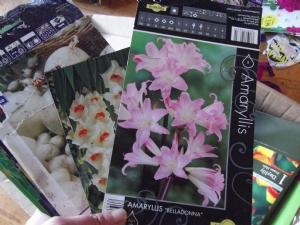 Amaryllis belladonna (oops)
