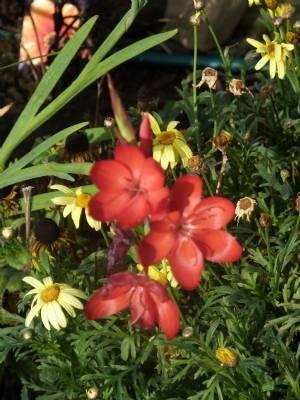 Kaffir Lily taken 7th November