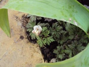 Anemone 'blanda'