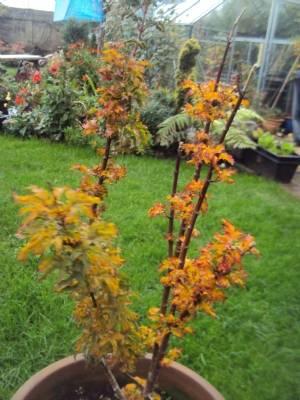 Acer ribesfolium
