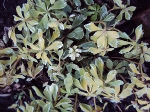 Pachysandra variegata