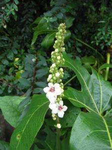 Verbascum chiaxii this evening