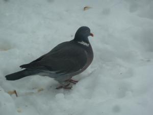 Plump pigeon