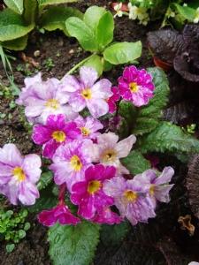 Primula 'Glengarrif'