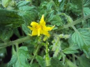 Flower on 'tumbling tom'