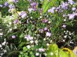 Gypsophila and Thalictrum