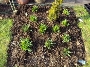 Bracteantha (Strawflower)
