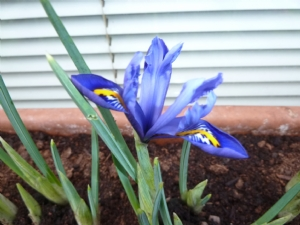 Irises open