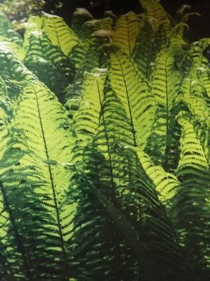 Shuttlecock fern