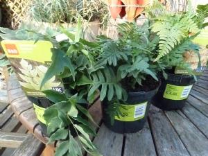 3 Hardy Ferns