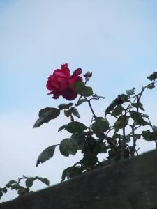 Climbing Rose 'Paul's Scarlet'
