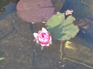New water lily