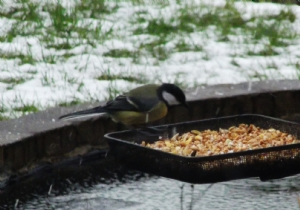 First Great tit this winter