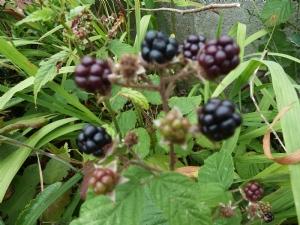 Dad's Blackberries
