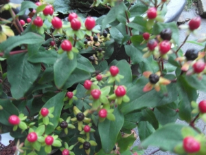 Hypericum inodorum 'Magical Red Star'