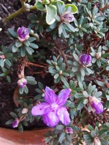 Rhododendron impeditum?