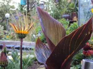 Gazania and Canna