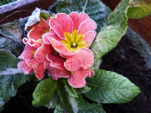 Frosted Primrose