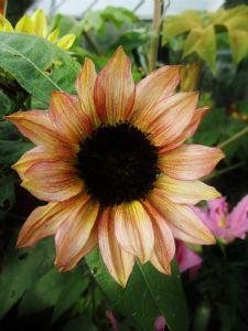 Sunflower 'Sunburst Mixed'