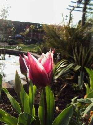 Tulipa 'Pallade'