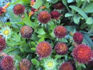 Gaillardia seedheads