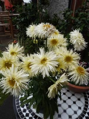 Leucanthemum 'Goldrush'