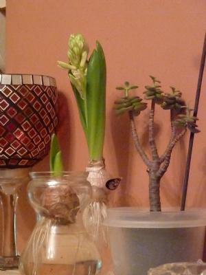 Unprepared Hyacinths