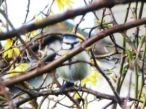 Well-camouflaged Bluetit