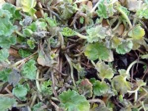 Erodium reichardii 'rosea'