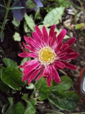 Perennial gerbera