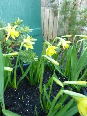 Daffs in the back garden