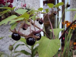 Atropa belladonna (Deadly Nightshade)