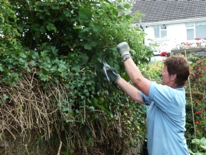 Cutting back ivy and brambles