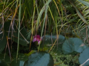 Late water lily
