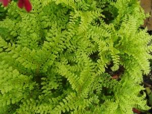 Id on a fern please