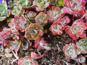 Sedum spathulifolium purpurea