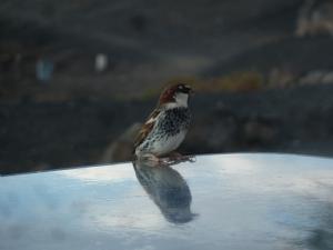 Sparrow or Canary?