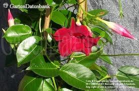 Dipladenia 'Sundaville Red'