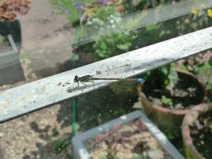 Damselfly in my greenhouse