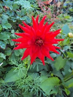 Seed Dahlia