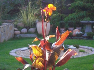 Canna lily at sunset!