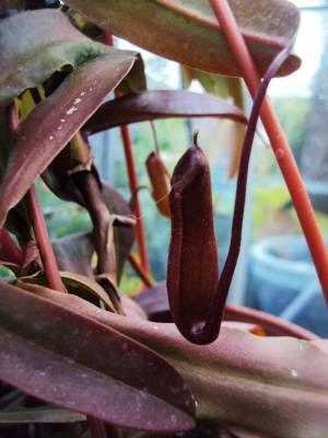 Nepenthes 'Rebecca'
