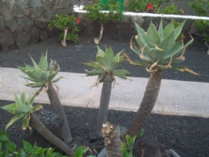 Aloe?