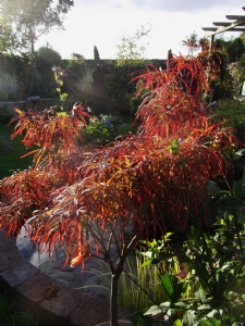 Acer 'Red Pygmy'