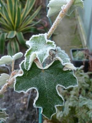 Fremontodendron with frost