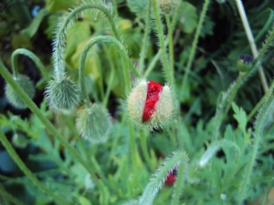 'Ladybird' Poppy