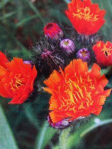 Hieracium aurantiacum (Orange Hawkweed)