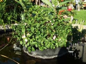 Hidden Begonias on the 'Island'